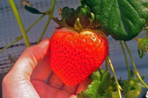 コモレビ農園/大粒イチゴ