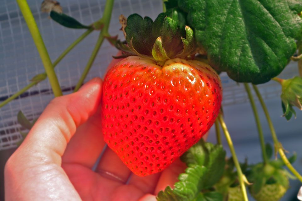 新たなイチゴ狩りスポット「コモレビ農園」で、恋が実る!?イチゴを食べた件。