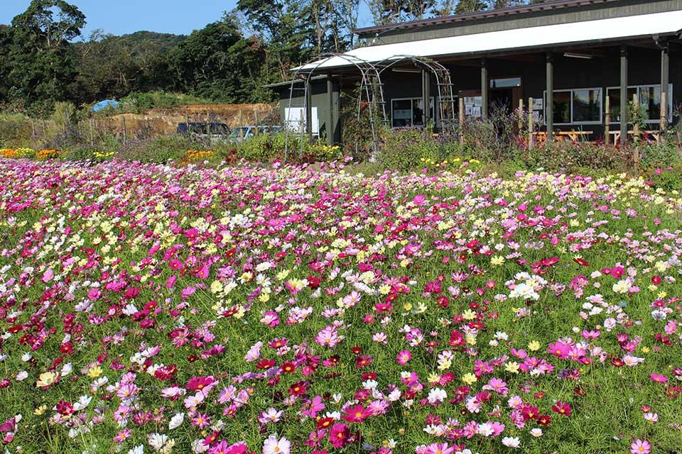【ダマスクの風】コスモス&ダリアが咲き誇る!秋の気配漂う高原のフラワースポット