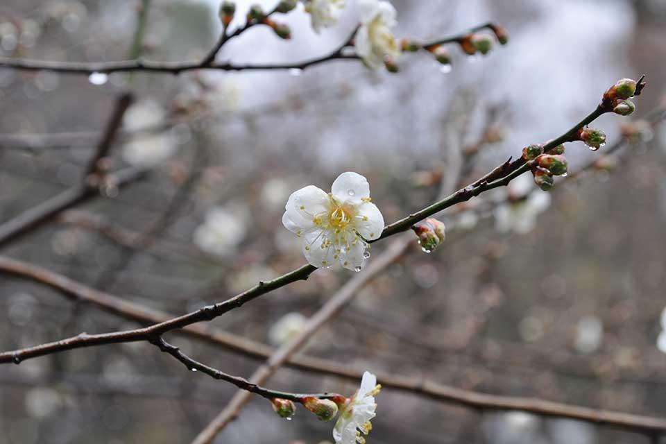 【藤川天神】2月中旬~3月上旬に「臥龍梅」が開花!県内屈指の梅スポットで一足早く春の訪れを感じて