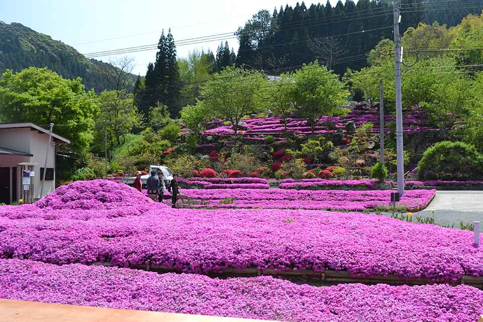 <b>【花の森 かもんしらお】</b>夫婦の愛から生まれ引き継がれる芝桜のじゅうたんを見に行こう!