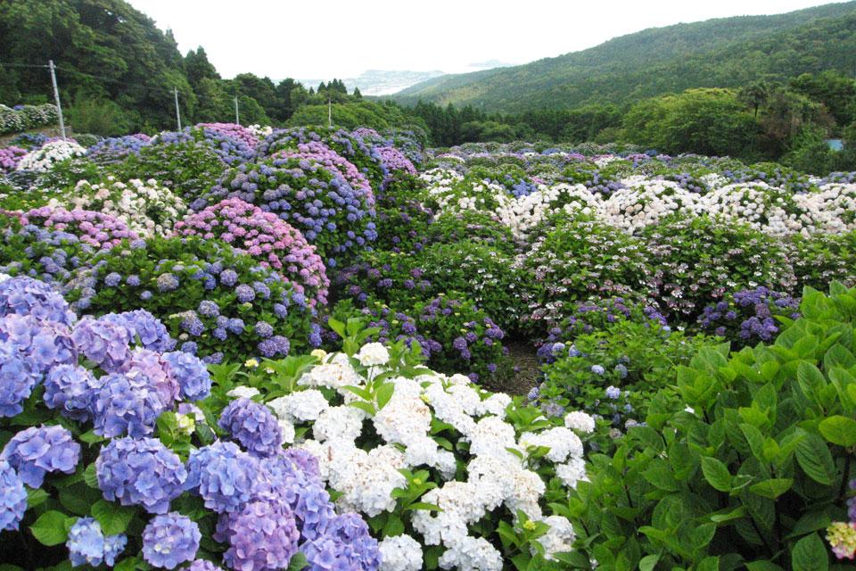 【阿久根市】笠山観光農園オープン